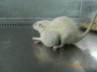 肿瘤动物模型